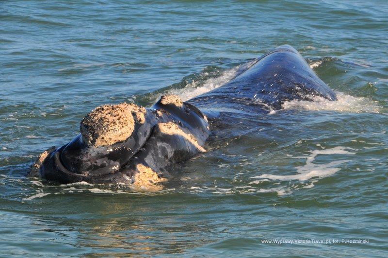 Sardines Run - wieloryb baaardzo blisko