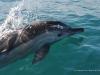 Sardines Run - delfiny