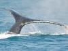 Humpback pokazuje całą okazałość płetwy ogonowej