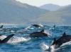 W drodze towarzyszą nam setki delfinów