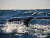 prześliczna płetwa ogonowa wieloryba