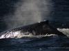 Znowu wieloryby...
