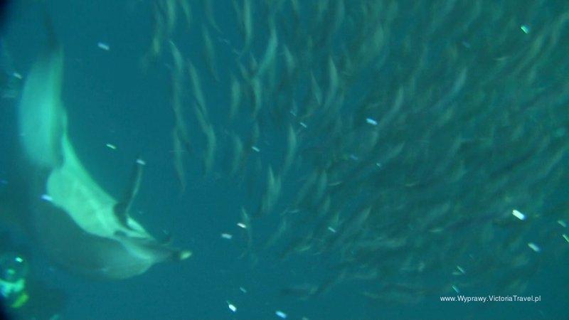 rpa-sardines-run-polowanie007