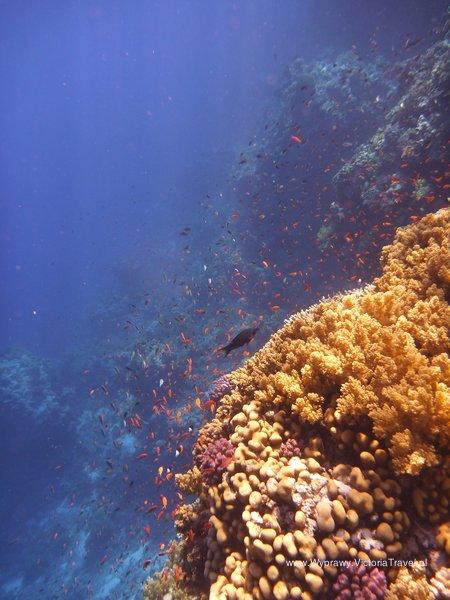 Nurkowanie na Dedalus Reef